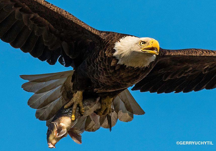 Uchtil_eagle